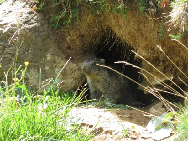 A young marmot spotted on our Rincon del Verde hike in the Valle de Tena