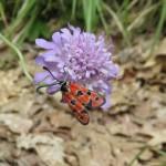 Auspicious burnet moth - Zygaena fausta