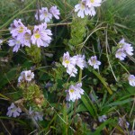Eye Bright - Euphrasia