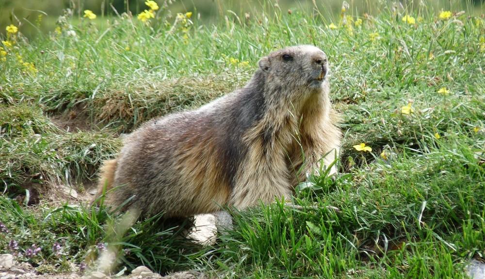 Marmot - Marmota