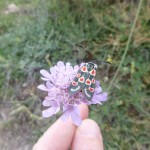 Provence byrnet moth - Zygaena occitianica