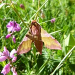 Elephant hawk moth - Deilephila elpenor