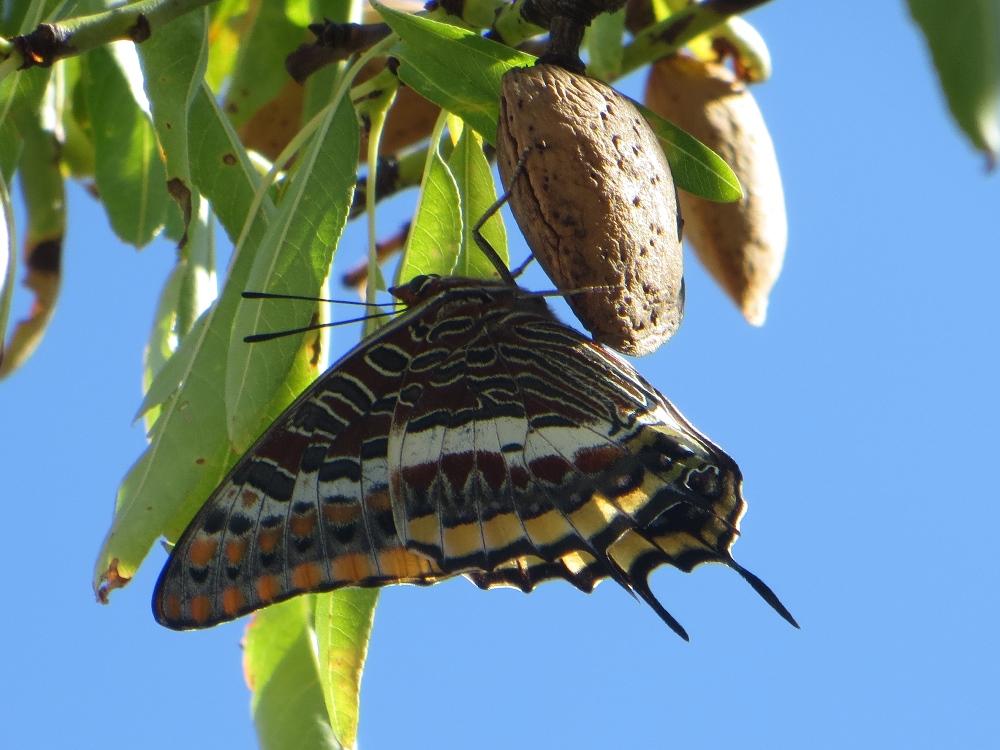 Two tailed pasha - Charaxes jasius