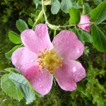 Wild Rose in full bloom