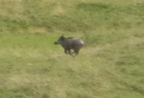 Wild boar caught on camera above Ordesa