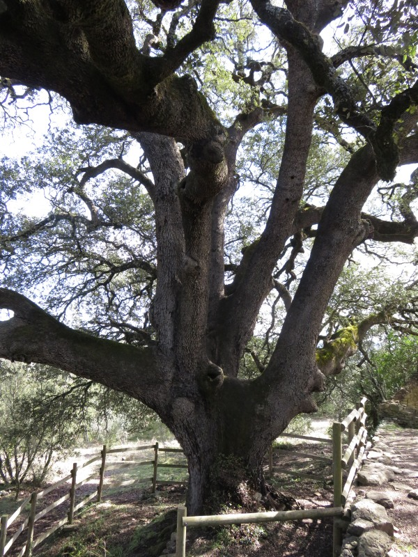 1000 year old holm oak in Lecina.