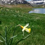 Alpine daffodil in the Ayous valley.