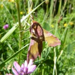 The prize find of the week, an Elephant hawk moth in La Ripera