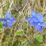 Spring gentian - Gentiana verna
