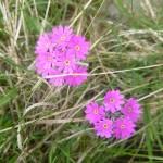 Brids eye primrose - Primula farinosa