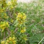 Twisted thymelaea -Thymelaea tinctoria
