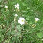 Meadow saxifrage - Saxifraga granulata