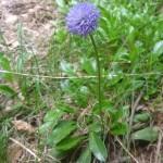 Globe daisy - Globularia vulgaris