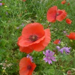 Common poppy - Papaver rhoeas and common mallow - Malva sylvestris