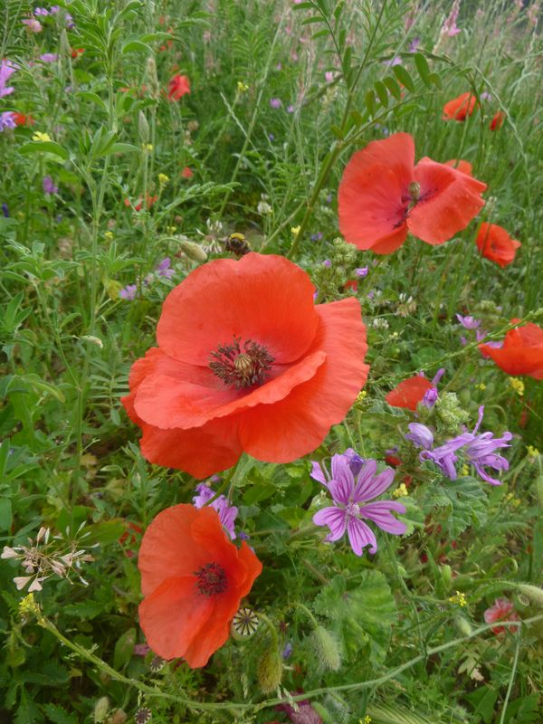 Common poppy - Papaver rhoeas and common mallow - Malva sylvestris