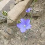 Flax - Linum lewisii