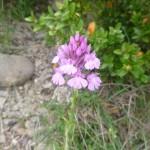 Pyramid orchid - Anacamptis pyramidalis