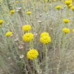 Lavender cotton - Santolina chamaecyparissus
