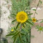 Spiny startwort - pallenis spinosa