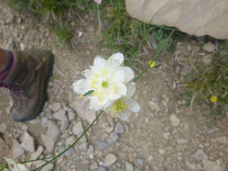 Meadow rue - Thalictrum tuberosum