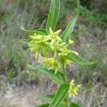 Swollow wort - Vincetoxicum hirundinaria