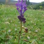 Tassel hyacinth - Leopoldia comosa