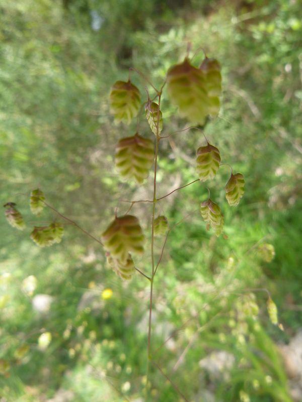 Quaking grass - Briza media