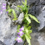 Long leaved butterwort - Pinuicula longifolia