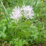 Common meadow rue - Thalictrum aquillegifolium