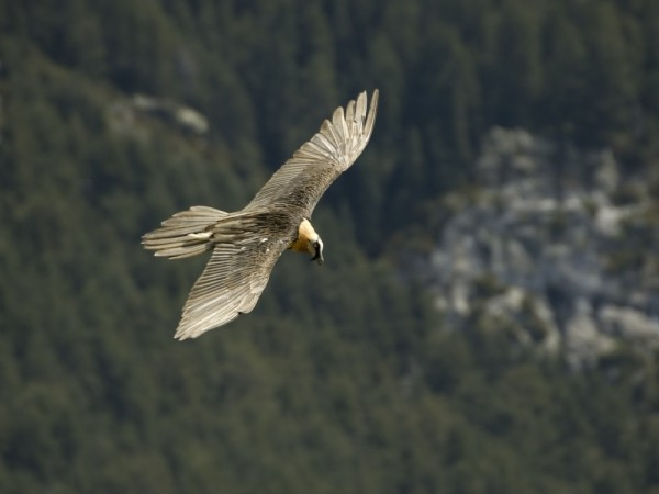 Bearded-Vulture-Pyrenees-1