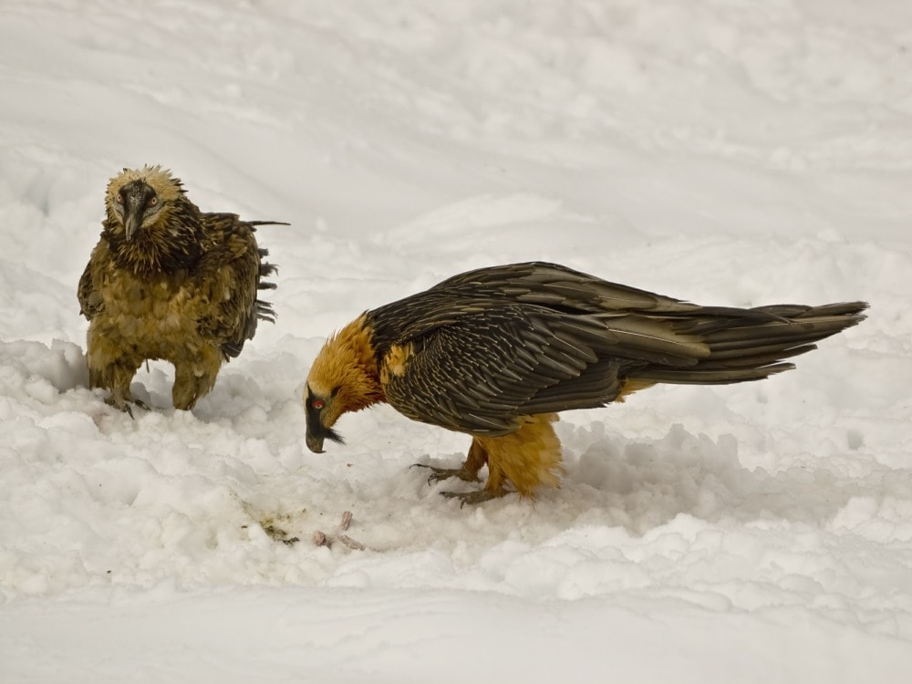 Pyrenees Bearded Vulture