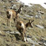 Pyrenean mountain goat