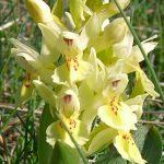 Elder Flowered Orchid
