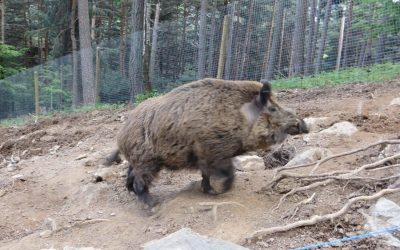 Wild boar in the Pyrenees