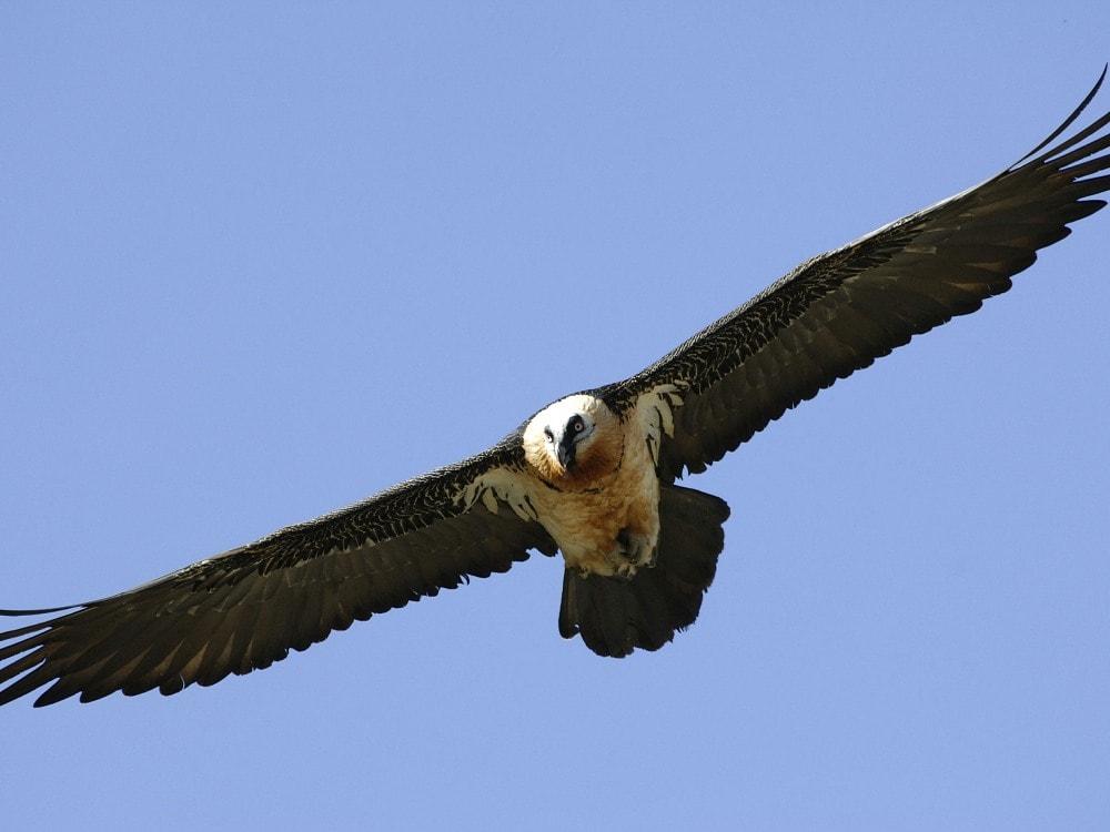 Bearded Vulture Wings