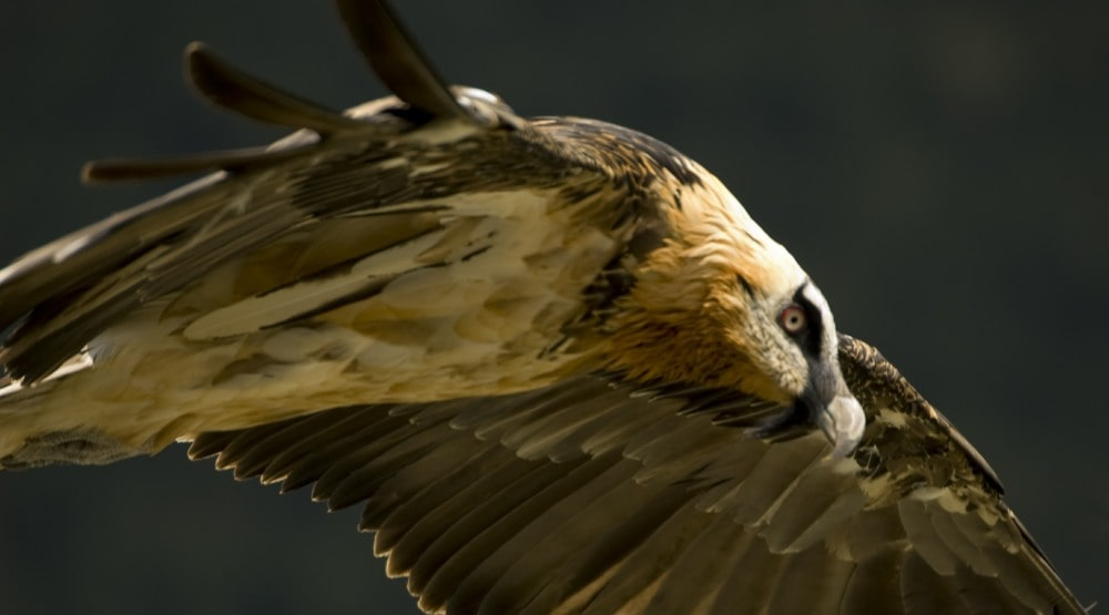 Bearded Vultures in the Pyrenees