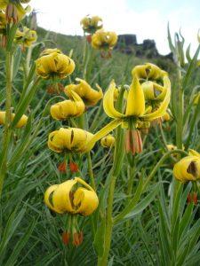 Pyrenean lily Ordesa National Park