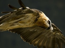 Bearded vulture in the Pyrenees