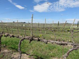 SommoS vineyard