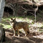 Wolves in the Pyrenees