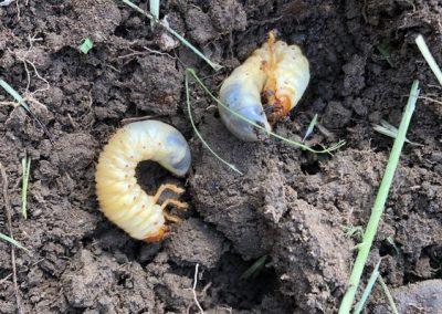 Summer chafer larvae