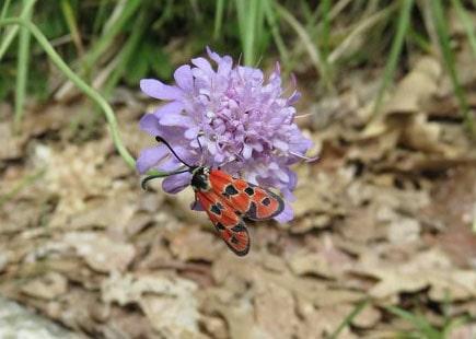 Auspicious Burnet Moth