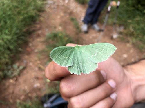 An inquisitive large emerald moth