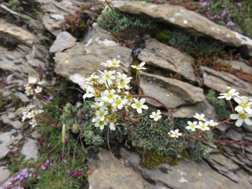Mountain saxifrage