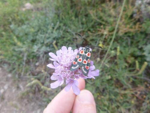 Provence Burnett Moth