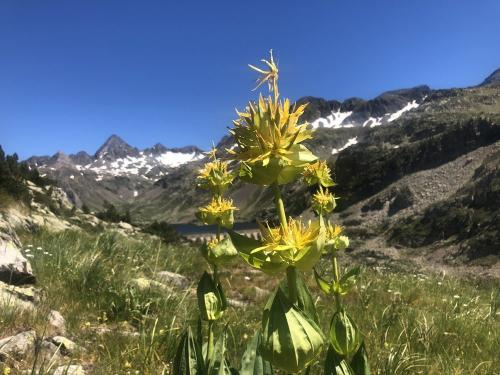 Great Yellow Gentian, Pyrenees