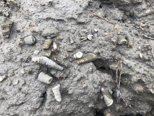 Fossils found in the margas