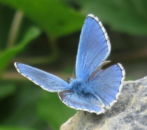 Butterfly in the blue family