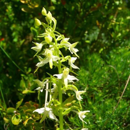 Lesser butterfly orchid – Platanthera biofolia