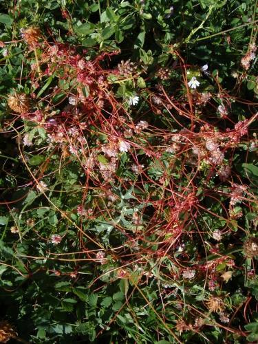 Dodder – Cuscuta epithymum
